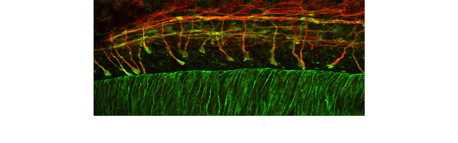 Spinal cord development
